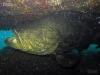 atlantic-goliath-grouper
