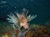 florida-lionfish