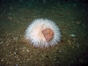 small-urchin