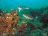 Flagler reef barge sea bass