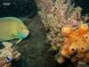 hopper-car-angelfish