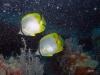 hopper-reef-butterfly