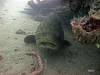 hopper-reef-goliath