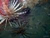 lionfish-pair