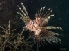 st-augustine-red-lionfish