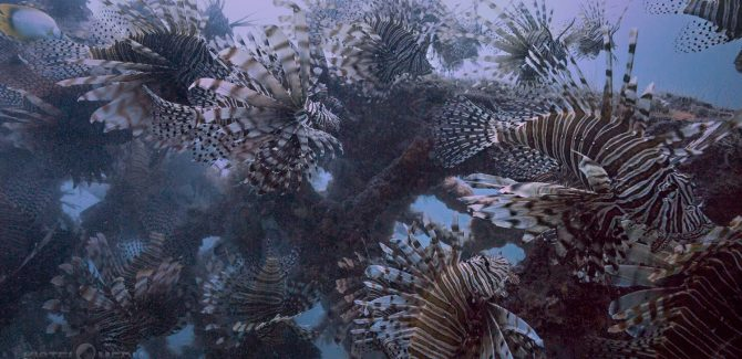 Lionfish Outreach and Insight Videos